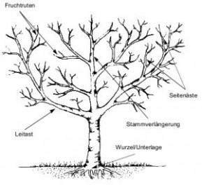 Obstbaum Schneiden obstbaumschnitt baumliebe